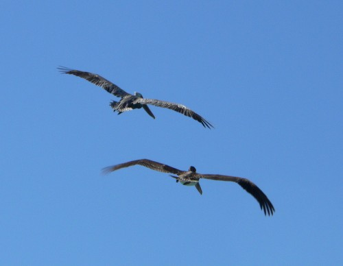 Pelicans from the Rear