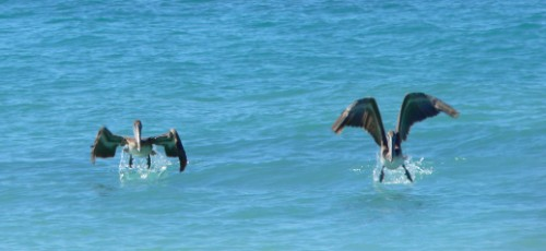 Pelicans taking off in water