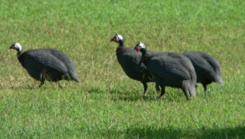 Grey Turkeys?