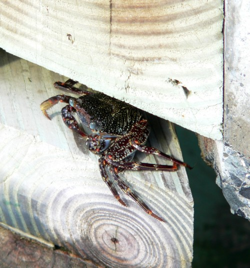 Crab on the boardwalk.