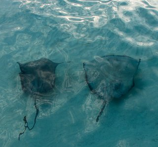 cayman sting rays